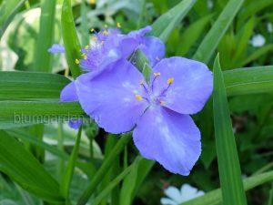 Традесканция садовая голубая © Blumgarden.ru