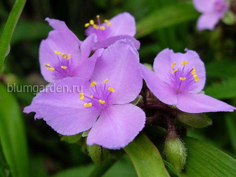 Традесканция садовая розовато-лиловая © blumgarden.ru