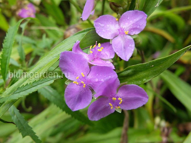 Традесканция садовая (Tradescantia Virginica)