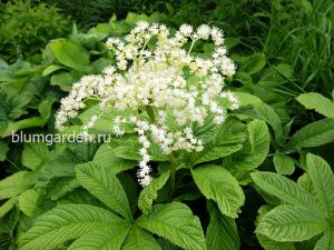 Роджерсия конскокаштанолистная (Rodgersia Aesculofolia)