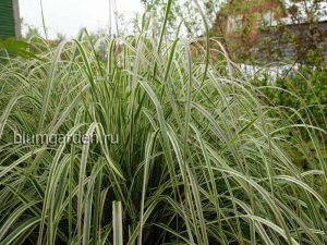 Вейник остроцветковый (Calamagrostis acutiflora)