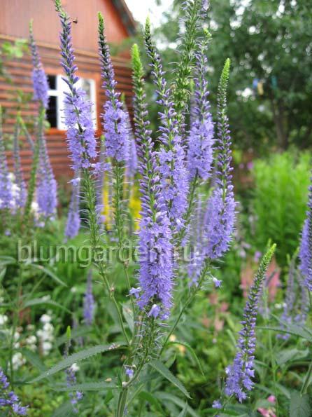 Вероника колосистая синяя Veronica spicata © blumgarden.ru