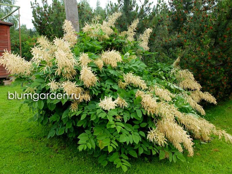 Волжанка двудомная (Арункус) - цветущий куст © Blumgarden.ru