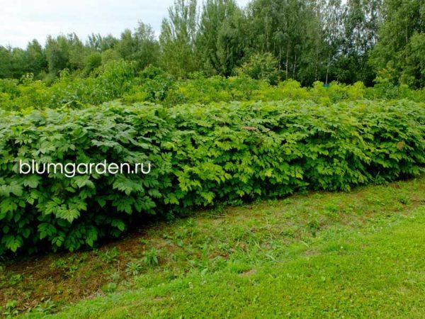 Живая изгородь из арункуса (волжанки двудомной) © blumgarden.ru