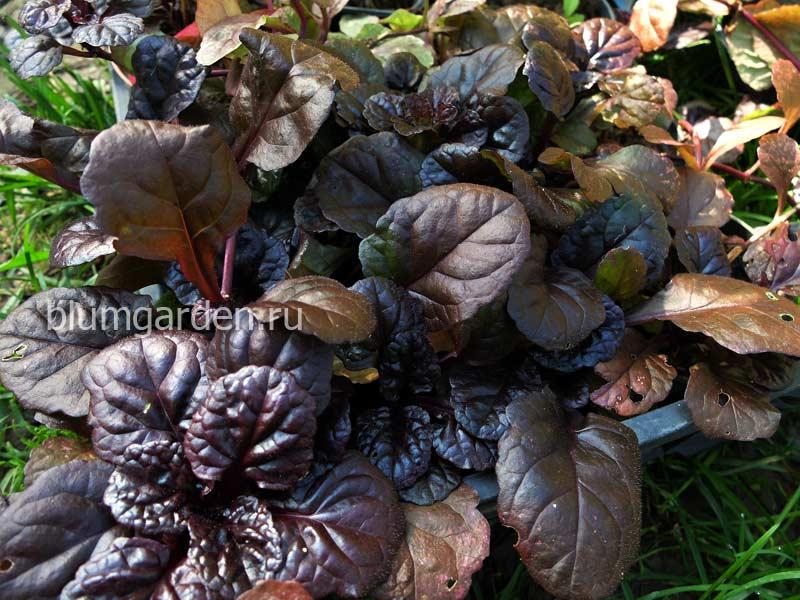Саженцы живучки ползучей Black Scallop (Ajuga Reptans «Блэк Скэллоп») © blumgarden.ru