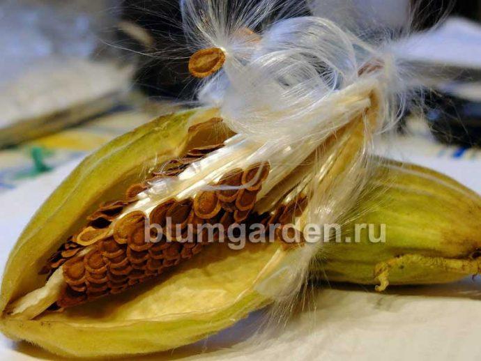 Семена ваточника сирийского © blumgarden.ru