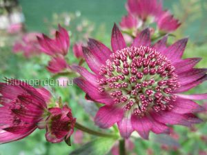 Астранция «Руби Клауд» (Astrantia Ruby Cloud)