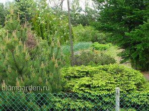 Ель подушковидная (Picea Abies) © Blumgarden.ru