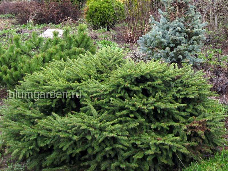 Ель подушковидная (Picea Abies)
