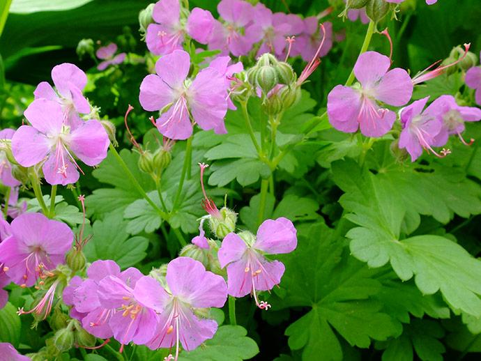 Герань кантабрийская «Кембридж» (Geranium Cantabrigense Cambridge)