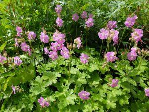 Герань кентабриджийская (geranium Cantabrigense Cambridg) © Blumgarden.ru
