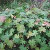 Герань крупнокорневищная (Geranium macrorrhizum) © blumgarden.ru