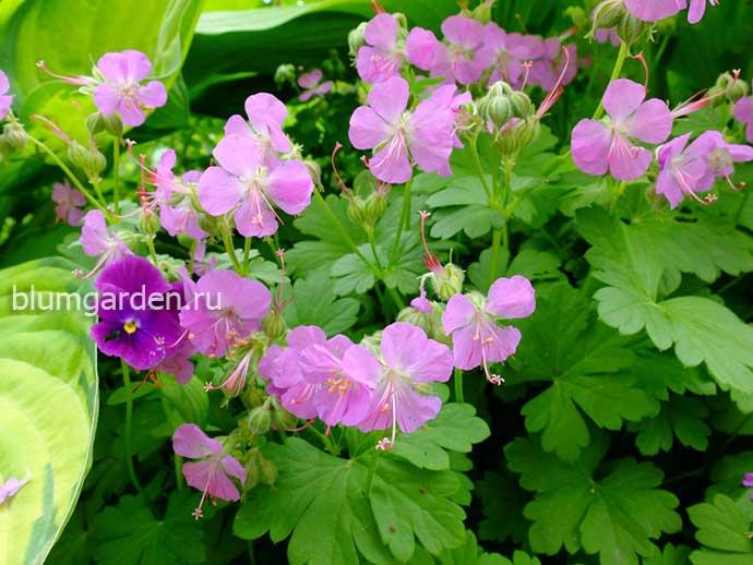 Герань кантабрийская Кембридж (Geranium Cantabrigense Cambridge)
