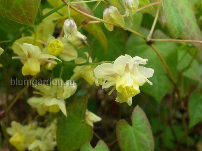 Горянка колхидская (Epimedium Colchicum)