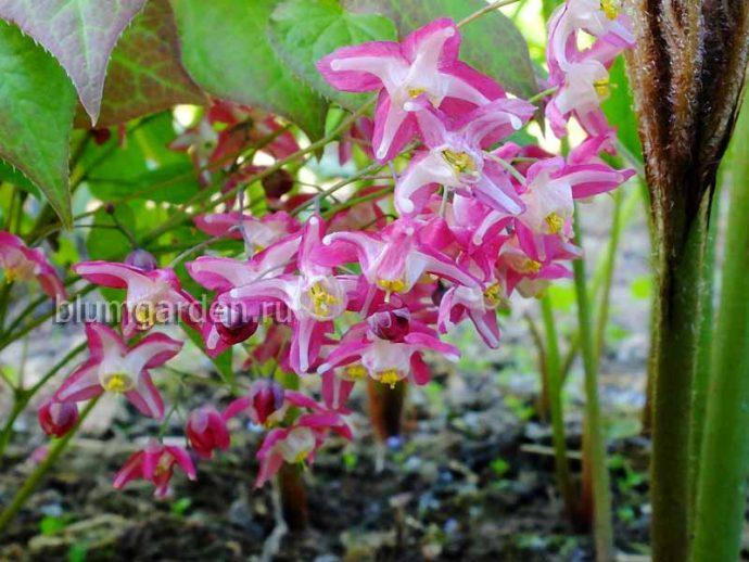 Горянка красная (Epimedium Rubrum)