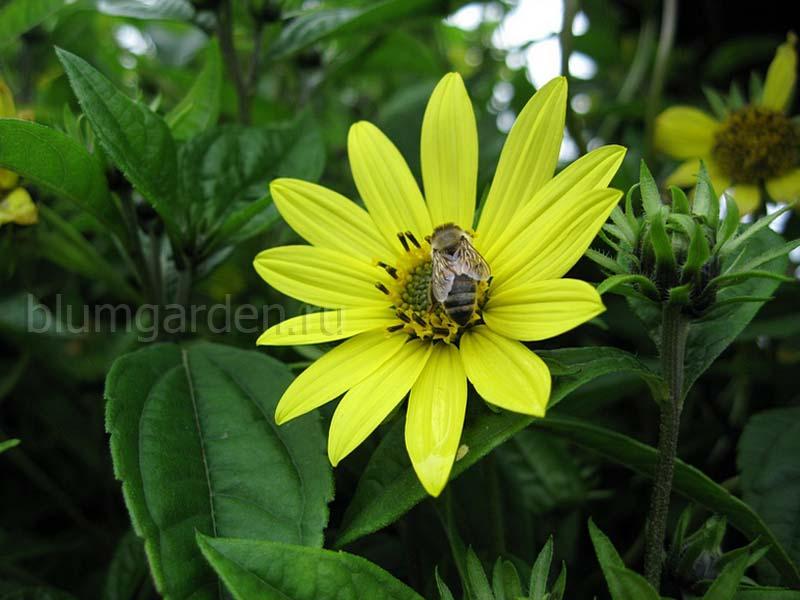 Гелиопсис (Heliopsis) © Blumgarden.ru