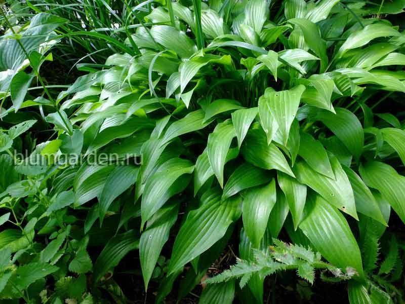 Хоста ланцетолистная (Hosta Lancifolia) © blumgarden.ru