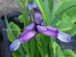 Ирис злаковидный (Iris Graminea) © Blumgarden.ru
