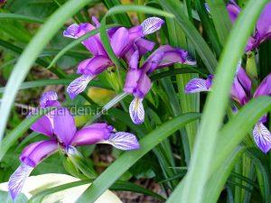 Ирис злаковидный (Iris Graminea)