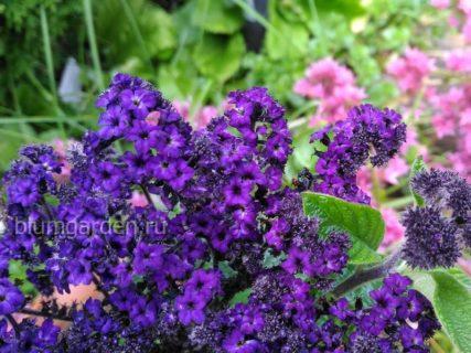 Красивоцветущие растения © blumgarden.ru