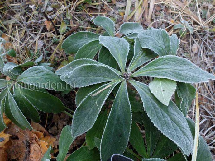 Вечнозеленые листья морозника гибридного © blumgarden.ru