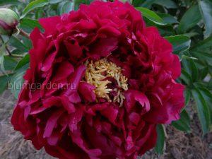 Пион «Бакай Белл» (Paeonia Buckeye Bell)