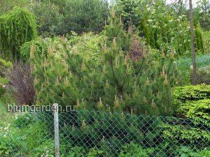 Сосна горная в ландшафтном саду © Blumgarden.ru