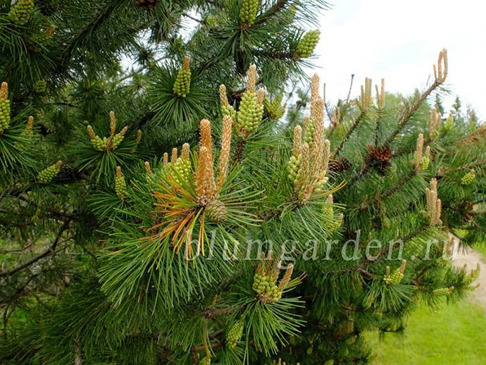 Сосна горная (Pinus mugo var. mughus) © blumgarden.ru