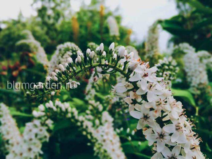 Вербейник клетровидный © blumgarden.ru