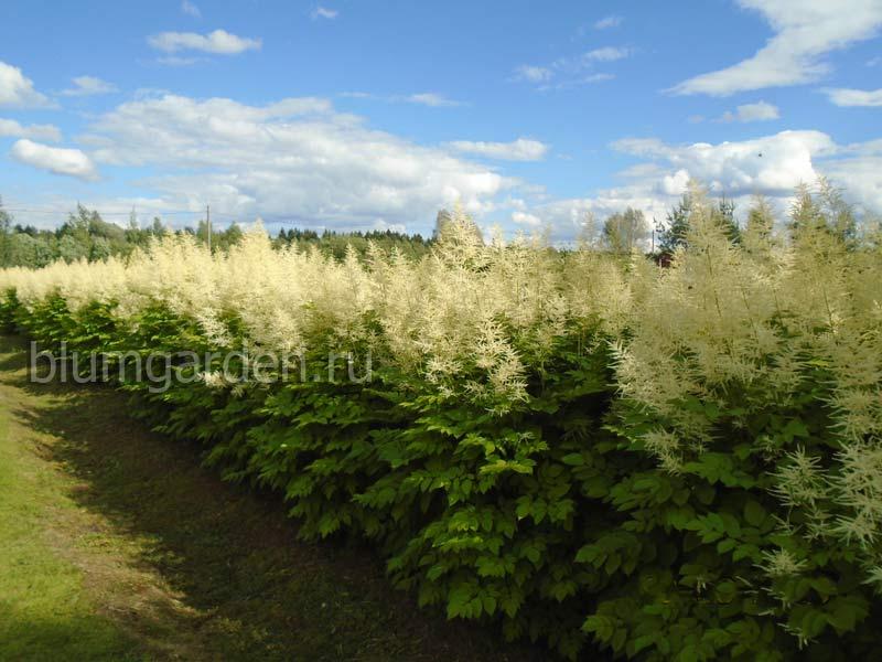 Цветущая живая изгородь из волжанки двудомной (питомник) © blumgarden.ru