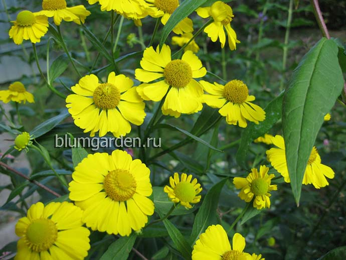Гелениум осенний Kanaria (Helenium autumnale Канария) © blumgarden.ru