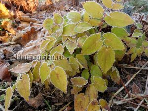 Горянка - морозостойкие листья - © www.blumgarden.ru