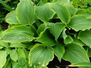 Хоста «Йеллоу Ривер» (Hosta Yellow River)