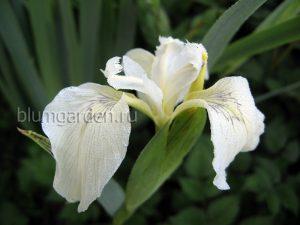 Ирис болотный «Крем де ля Крем» (Iris Pseudacorus Creme De La Creme)