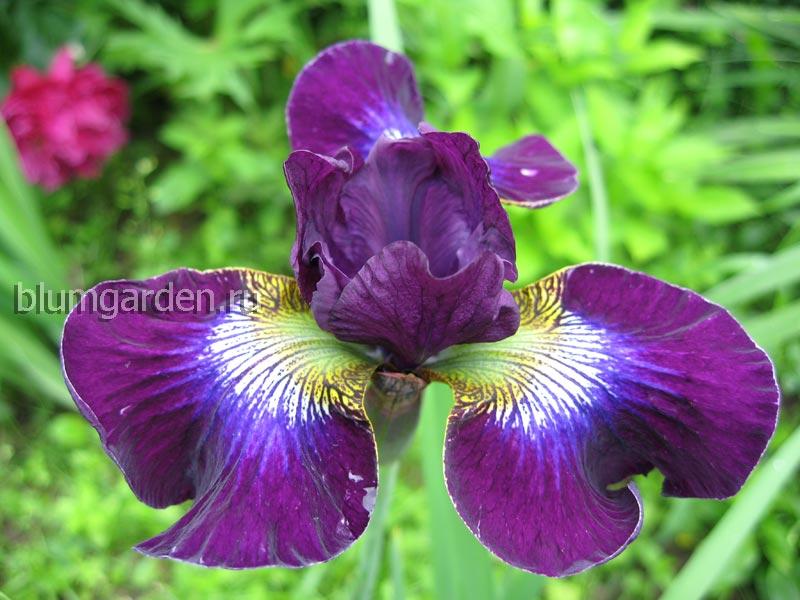 Ирис сибирский «Хаббард» (Iris Sibirica Hubbard)