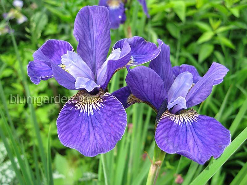 Ирис сибирский «Раффлд Вельвет» (Iris Sibirica Ruffled Velvet)