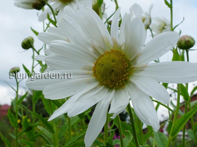 Леукантемелла (Leucanthemella Serotina)