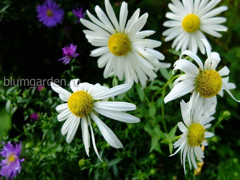 Леукантемелла (Leucanthemella Serotina) © Blumgarden.ru