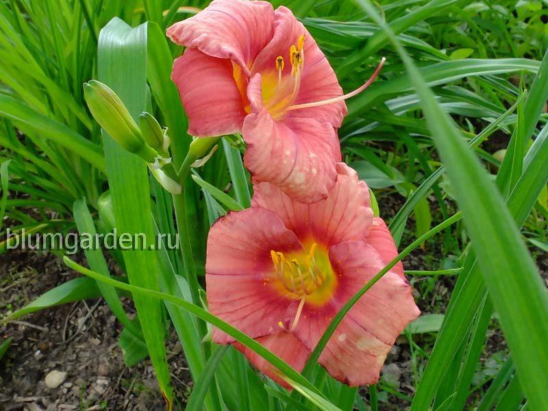 Лилейник гибридный Rosy Returns © blumgarden.ru