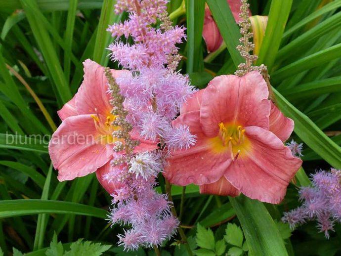 Лилейник гибридный Rosy Returns (Рози Ретурнс) и астильба Пумила в ландшафтном саду © blumgarden.ru