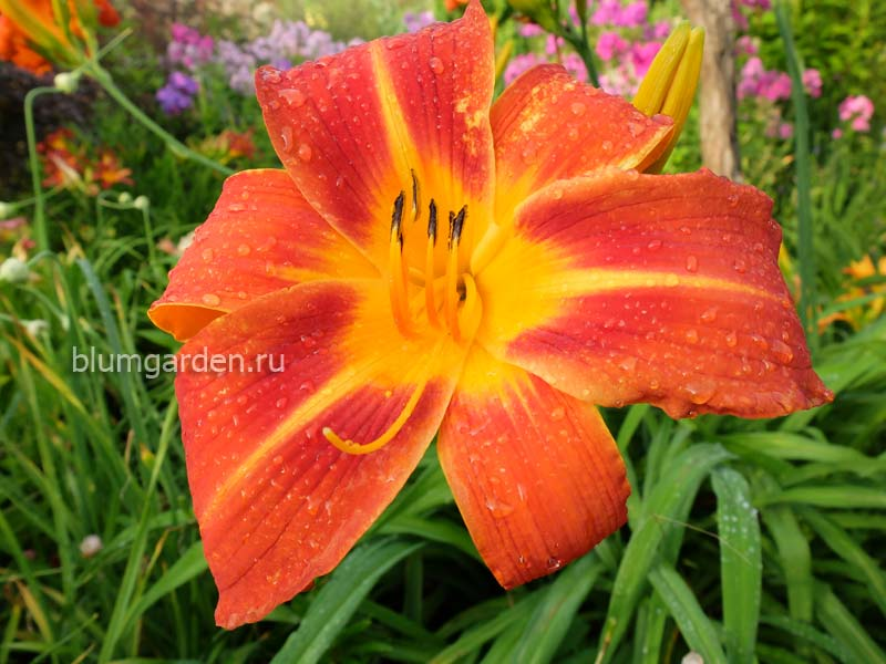 Лилейник Flasher (Hemerocallis «Флашер»)