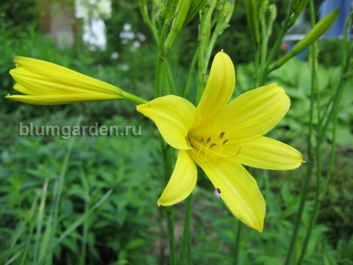 Лилейник желтый (Hemerocallis lilioasphodelus) © blumgarden.ru