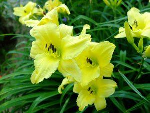 Лилейник гибридный «Сьюзи Вонг» (Hemerocallis Suzie Wong)