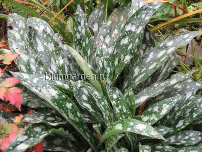 Медуница длиннолистная (Pulmonaria Longifolia)