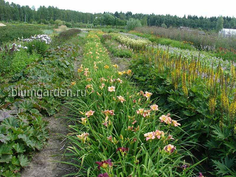 Питомник многолетних цветов для сада © Blumgarden.ru