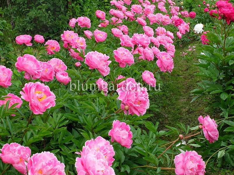 Пионовый сад питомник © Blumgarden.ru
