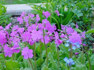 Примула кортузовидная (Primula Cortusoides) © Blumgarden.ru