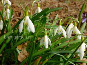 Апрель - цветут подснежники © blumgarden.ru