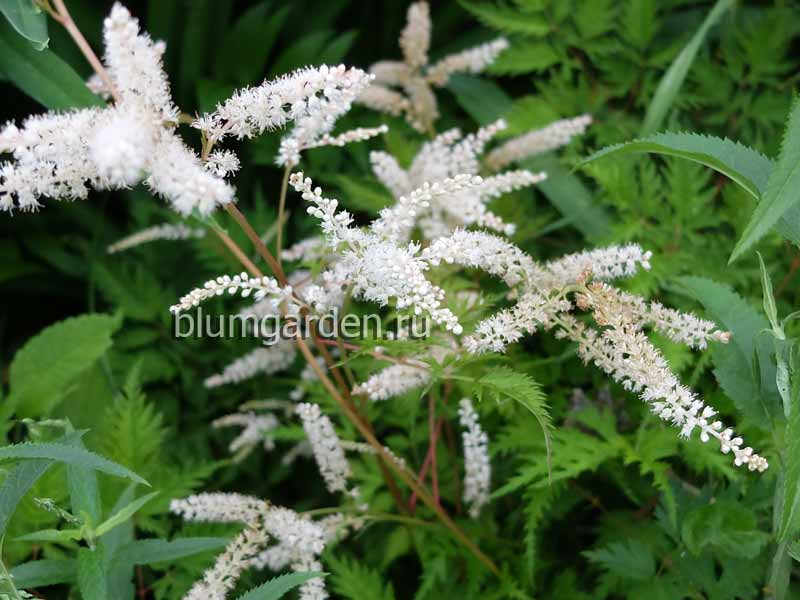 Арункус (волжанка) Мисти Лейс (Aruncus Mysty Lace)