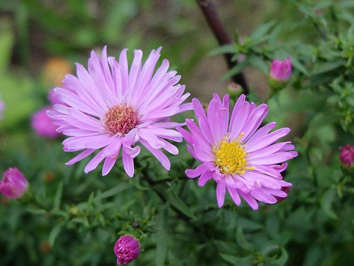 Астра осенняя кустовая розовая 40 см © blumgarden.ru
